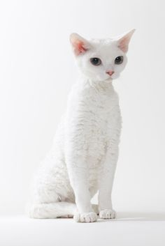 white devon rex beauty