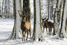 Even in rural Maine, there's no such thing as complete solitude. Neighbors like these are always stopping by for a visit. Nature Animals, Wild Animals, Cute Animals, Beautiful Scenery, Beautiful Landscapes, Elks, Winter Beauty, Woodland Creatures, Animal Party