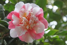 Camellia japonica 'Variegata' (imported from China to U.K. c.1792)