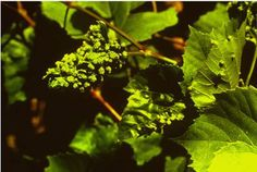 Fylloxera vastatrix (φυλλοξήρα της αμπέλου)