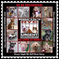 """TO BE DESTROYED 09/26/16@ NYC ACC. *SO MANY DOGS HAVE BEEN KILLED LATELY* This is a HIGH KILL """"CARE CENTER"""". Too many great dogs put down daily!  Info  Please Share:  To rescue a Death Row Dog, Please read this:http://information.urgentpodr.org/adoption-info-and-list-of-rescues/  To view the full album, please click here:http://nycdogs.urgentpodr.org/tbd-dogs-page/ Please Share:-  Click for info & Current Status: http://nycdogs.urgentpodr.org/to-be-destroyed-4915/"""