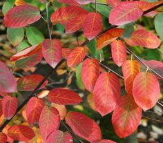 Amelanchier laevis 'Ballerina' / Kahle Felsenbirne 'Ballerina' – obwohl es der Name nicht vermuten lässt zeigt sich die Kahle Felsenbirne 'Ballerina' gerade im Herbst in tollen Farben. Gut für kleine Gärten geeignet.