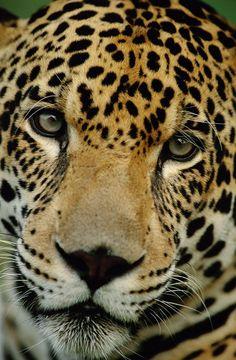 A Jaguar. beautiful amazing