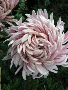 Garden Flowers - Annuals Or Perennials Chrysanthemum. I Thought I Didn't Like Chrysanthemums But This One Is Beautiful- - Love The Swirls. Exotic Flowers, Amazing Flowers, My Flower, Beautiful Flowers, Cactus Flower, Tropical Flowers, Purple Flowers, Garden Plants, Perennials