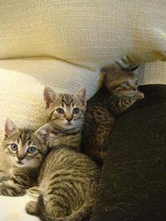 Tabby es un gatin atigrado de un mes y medio, precioso y super jugueton, llego con sus 3 hermanitos, los cuales ya encontraron sus familias