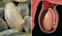 Shells and testicles