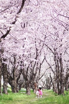 Yoshino Cherry trees.  When the blossoms fall in spring it looks like pink snow on the ground! Absolutely breathtaking!
