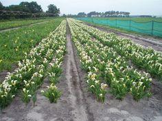 Bloementeelt van de Calla in Zuid-West Frankrijk. Hier is het eerder zomer waardoor de calla's eerder bloeien.