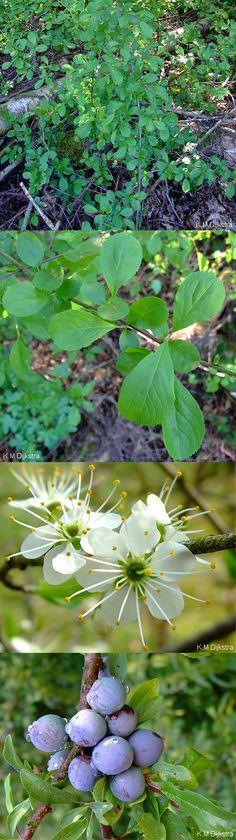 Sleedoorn - Prunus spinosa vruchten: eetbaar (jam, wijn) hout: sterk en hard