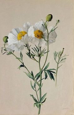 "Albert R. Valentien American art pottery decorator and botanical artist. Watercolor San Diego Natural History Museum Informations About ""Matilija Poppy: Romneya trichocalyx"" by A Illustration Botanique, Illustration Blume, Botanical Illustration, Vintage Botanical Prints, Botanical Drawings, Botanical Flowers, Botanical Art, Botanical Gardens, Art Floral"