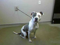 CASH-ID#A709388    My name is CASH.    I am a female, white and gray Pit Bull Terrier.    The shelter staff think I am about 2 years old.    I have been at the shelter since Apr 11, 2013.