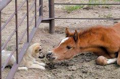 Puppy crawls under fence to say hi to colt.
