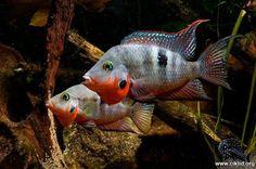 Thorichthys meekii   Aquarium, fish, freshwater