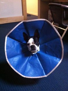 Taylor wearing the wrong size cone, so he looks like an angry flower.