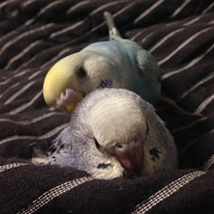 Macduff triumphant, brings the traitor's head to Malcolm. The one true budgie will reign!