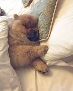 いいね!5,080件、コメント81件 ― Chow Chow Puppies さん(@chowpuppies)のInstagramアカウント: 「The person you will tag, must buy you a chow . . . #chowpuppies#dog #ad #puppy #chowchow…」