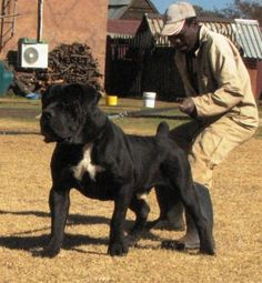 south african boerboel - Google Search
