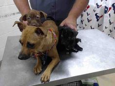 05/03/16--HOUSTON- -EXTREMELY HIGH KILL FACILITY - This DOG - ID#A457989 I am a female, brown Chihuahua - Smooth Coated and Dachshund. The shelter staff think I am about 3 years old. I have been at the shelter since May 02, 2016. This information was refreshed 48 minutes ago and may not represent all of the animals at the Harris County Public Health and Environmental Services.