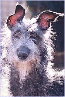 Scottish Deerhound... Our next dog?