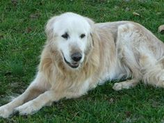 This is Baxter -13 yrs. He is an owner surrender. Baxter is neutered, current on vaccinations, potty trained, has good house manners & gets along with other dogs. He has some stiffness in his nind end & can manage a few stairs but would do best in a home with only a couple or no stairs. Baxter is looking for a forever home and is at Middle Tennessee Golden Retriever Rescue.