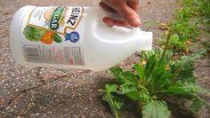 El vinagre es uno de los productos más versátiles que podemos tener en nuestra cocina. A parte de su uso para condimentar los alimentos, este producto sirve para muchas cosas más. Anuncios Uno de esos usos, es para mantener nuestro jardín impecable.A diferencia de los fertilizantes comerciales, el vinagre no le hace daño al medio …