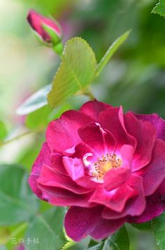 Shrub Rose: Rosa 'Cardinal Hume'