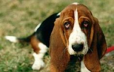 """Have you ever asked yourself, """"Am I a basset hound?"""" Well, here are some telltale signs that you do, in fact, have the best genes around."""