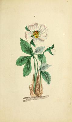 Black Hellebore or Christmas Rose (Helleborus niger). Plate from 'The Book of Flowers' by 'A Lady.' Published 1836  by Carey, Lea, and Blanchard   archive.org