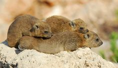 A family of Rock Hyrax (Procavia capensis) takes a mid day nap near Nahariyya City, Israel. (photo: David Blank)