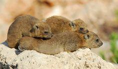A family of Rock Hyrax (Procavia capensis) takes a mid day nap near Nahariyya City, Israel. (photo: David Blank)
