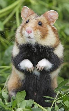 European, Eurasian, Black-bellied or Common Hamster. It is native to a large range in Eurasia, extending from Belgium to the Altai mountains and Yenisey River in Russia.
