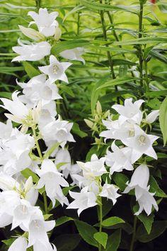 Savimaa on mainettaan parempi. Saatavilla on lukuisia koristekasveja, jotka eivät ole savesta moksiskaan. Lue Viherpihan vinkit savimaan kasveihin!