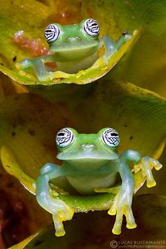 Twitter, Lemon Glass Frogs by Lucas M. Bustamante-Enríquez pic.twitter.com/lmwtT7MtL6 Cute Frogs, Funny Frogs, Les Reptiles, Reptiles And Amphibians, Beautiful Creatures, Animals Beautiful, Cute Animals, Glass Frog, Green Frog
