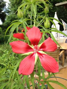 Texas Star Hibiscus (hibiscus coccineus): This appears to be Texas star hibiscus, which grows as a perennial in your area. Noted for those beautiful red flowers and distinctive leaves.