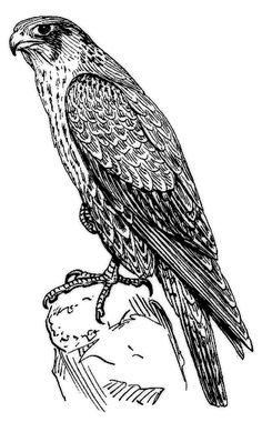 peregrine falcon BW