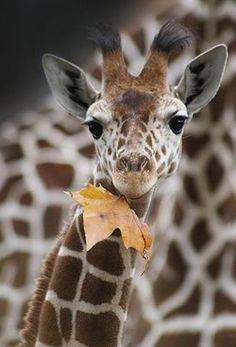 Girafon - Feuille