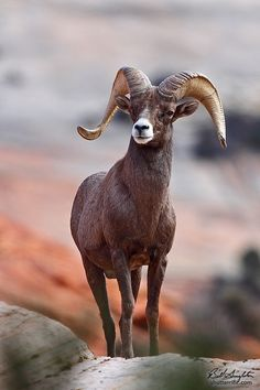 Desert Big Horn Sheep byBill Singleton, Zion National Park, Utah.