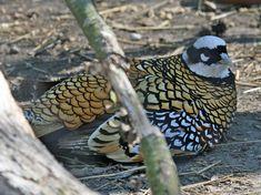 Reeves Pheasant (Syrmaticus reevesii)