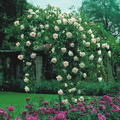 Weeping Standard Rose Seafoam (Schwartz) bears small white to cream double blooms that devlop a hint of pink in cooler weather. Ground Cover Roses, Floribunda Roses, Garden Express, Drought Tolerant Garden, Garden Projects, Garden Ideas, Rose Trees, Thing 1, David Austin Roses