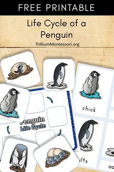 Free printable about the life cycle of a penguin.  Perfect for your penguin, winter or Antarctica theme or unit