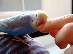 baby budgerigar hug