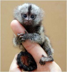 El mono titi el mas pequeño del mundo.