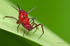 Phoroncidia sp (Theridiidae) by melvynyeo.deviantart.com on @deviantART