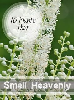 10 Heavenly Smelling Plants for Your Yard- Plants that smell delicious that are perfect for your yard and garden...