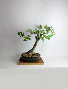 "Crape Myrtle Bonsai Tree ""Spring'16 Myrtle Collection"" from LiveBonsaiTree by LiveBonsaiTree on Etsy"