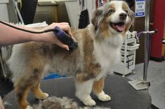 """The """"teddy cut"""" is a versatile, all-over haircut that is perfect for active, thick-coated mini Australian shepherds. Grooming Australian Shepherd, Red Tri Australian Shepherd, American Shepherd, Puppy Training Classes, Dog Training, Crate Training, Malinois Puppies, Puppy Stages, Aussie Puppies"""