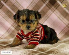 Bessie -#yorkiepoo #dogs #cute Puppy for Sale in Lykens,