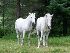 Wild Horses Running | Two white Horses cute background Wallpaper