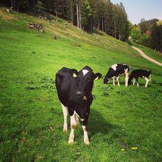 Black beauty.   #nature #kuh #cow #alpen #berge #wanderslust #outdoors #hiking by me_la_nie_g