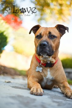 Petfinder  Adoptable | Dog | Pit Bull Terrier | Portland, OR | Buddy California (foster)